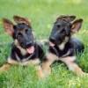 royal canin golden retriever junior feeding guide