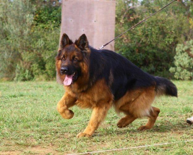 German-Shepherd-Training-Photo