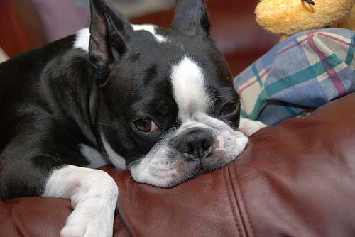 Doggy-Dans-The-Online-Dog-Trainer-Review-dog-separation-anxiety-1