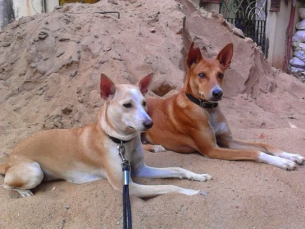Indian Pariah Dogs - Breed Information, History and Facts