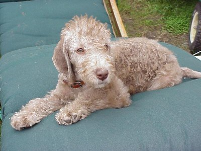 bedlington terrier breeders dog breeds that start with b pets world 2357