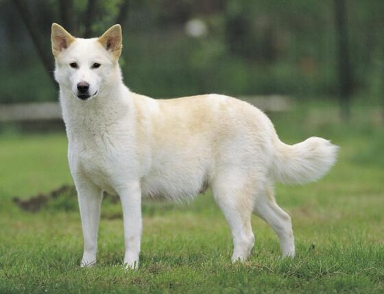 8 letter dog breeds breeds that start with c pets world 10627 | canaan dog