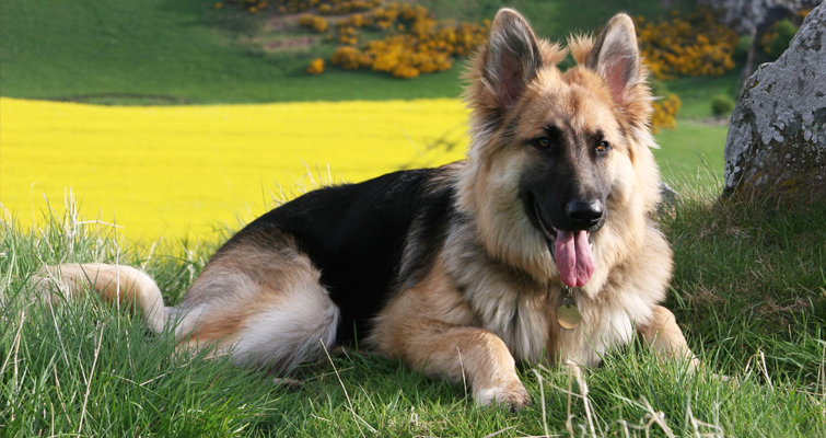 German Shepherd Dog Information,Pictures And Training Tips
