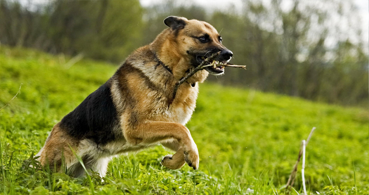 German-Shepherd-running-