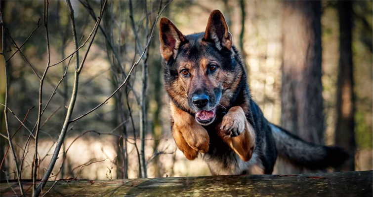 dogs-german-shepherd