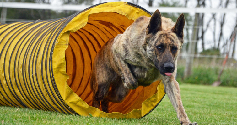 dutch-shepherd-