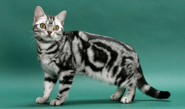 Best Cat Breed For House