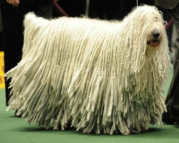 Komondor-Dog