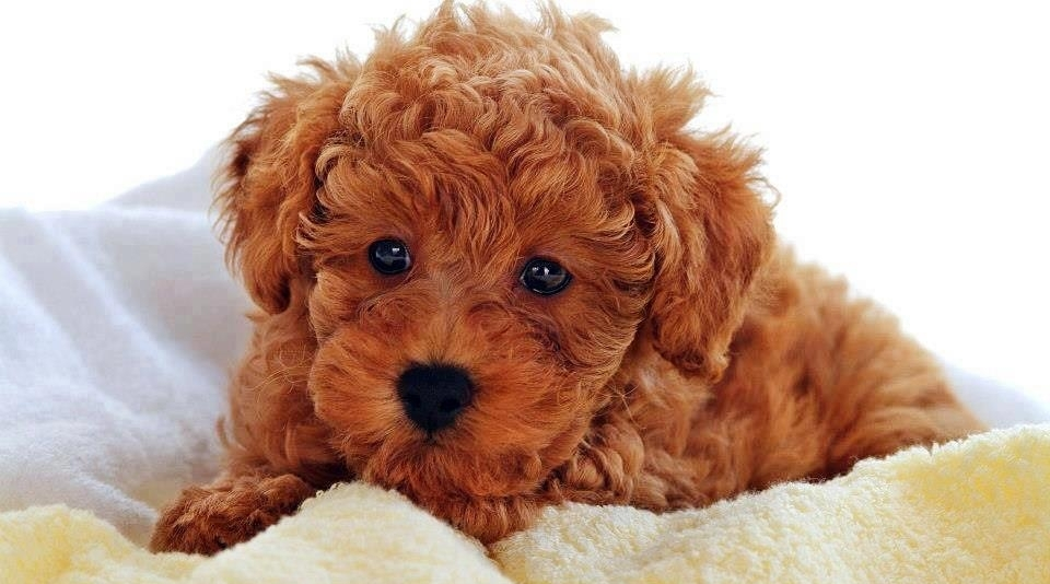 Teddy Bear Dog Breed Images - Pet Blog - Dogs, Cats, Fishes and ...