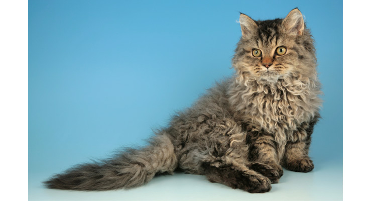 How To Train A Selkirk Rex Cat Pets World