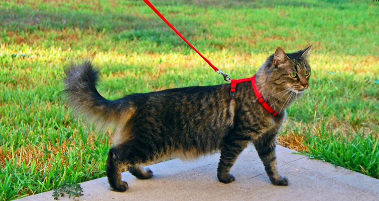 Cat_harness_and_leash