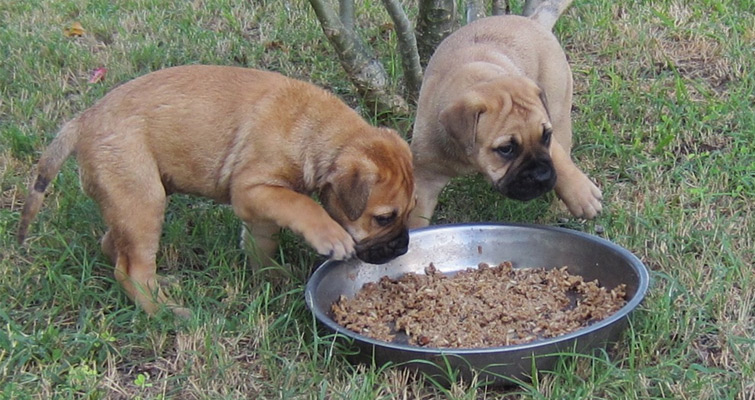 Bullmastiff Caring Feeding And Grooming Guidelines Pets World
