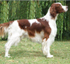 Irish-Red-and-White-Setter