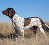 Old-Danish-Pointer