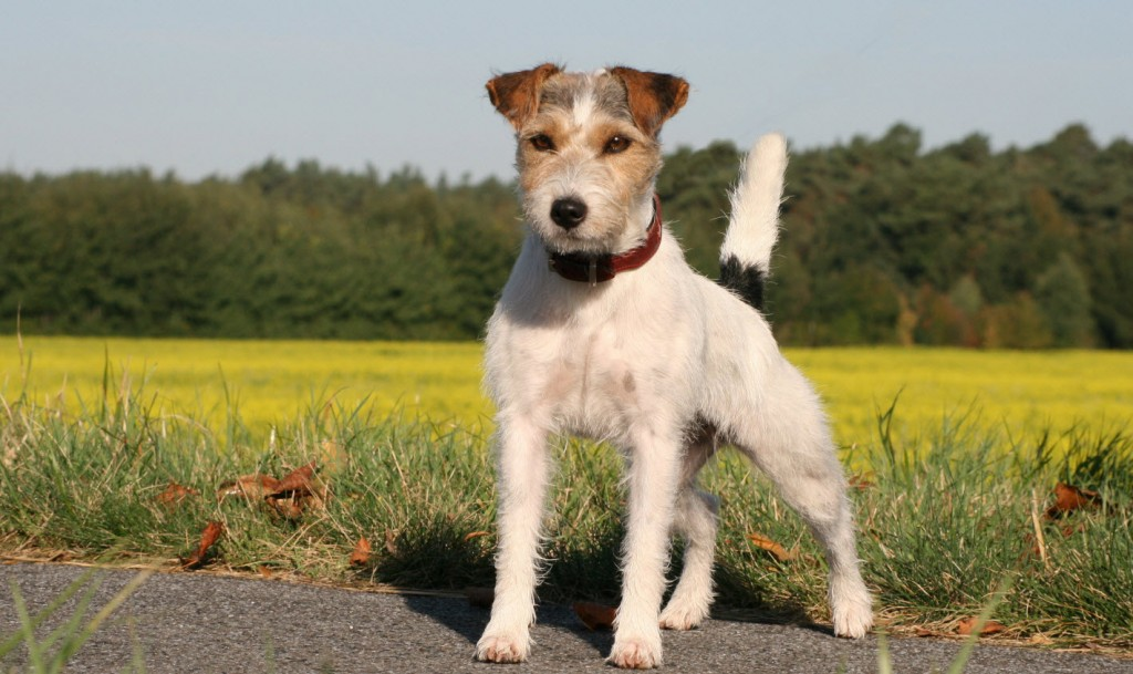 Diffrent types of Terrier Dogs Breeds