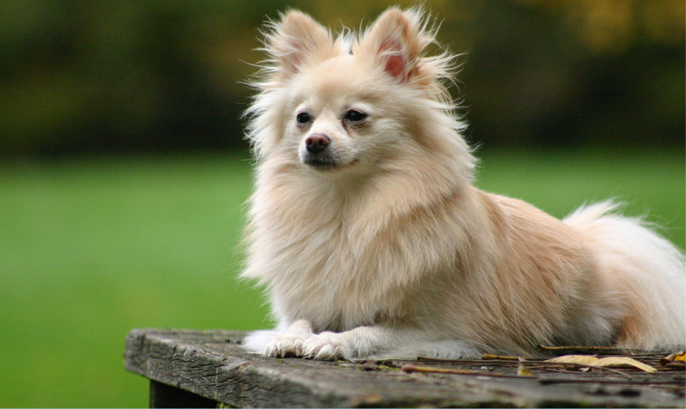 Pomeranian Dog Breed Information Pets World
