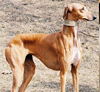 Rampur-Greyhound