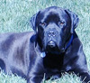 Ultimate-Mastiff