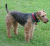 Welsh-Terrier-Dog