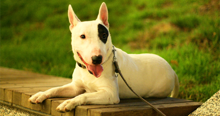 How To Train A Bull Terrier | Pets World