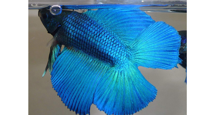 essential feeding tips for healthy betta fish pets world