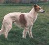 Longhaired Whippets