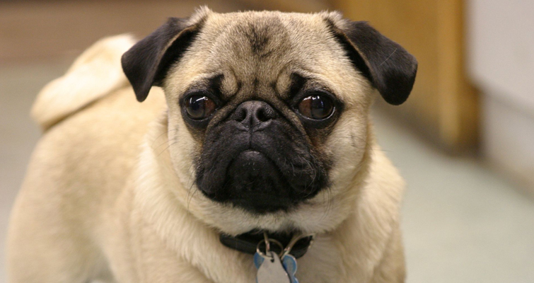 Feeding Tips For Your Pug Pets World