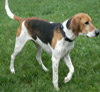 American-Foxhound-dog