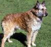 Afghan Sheepdog