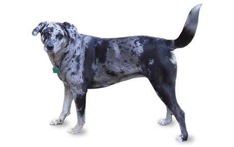 What Breed Of Dog Has The Name Louisiana In It