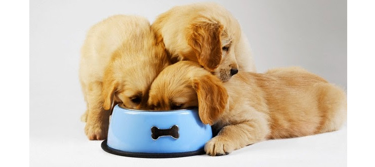 golden-retriever-puppy-eating