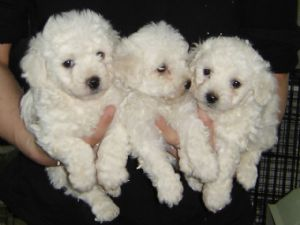 Buy/Sell Bichon Frise Puppies Online - Adopt a Bichon Frise