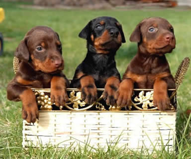 Buyselladopt Doberman Puppies In India Pets World