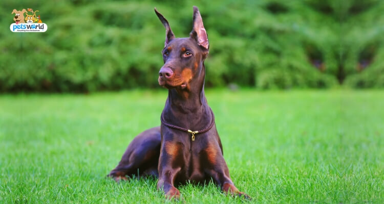 Doberman Pinscher Dog Breed Information And Pictures
