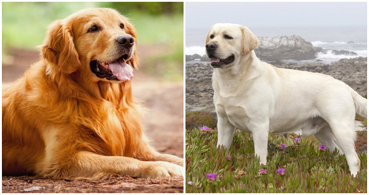 Golden retriever vs labrador size