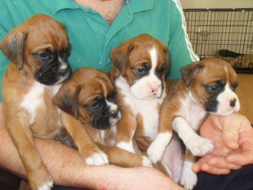 Buy Sell Adopt Boxer Dogs All Over India Pets World