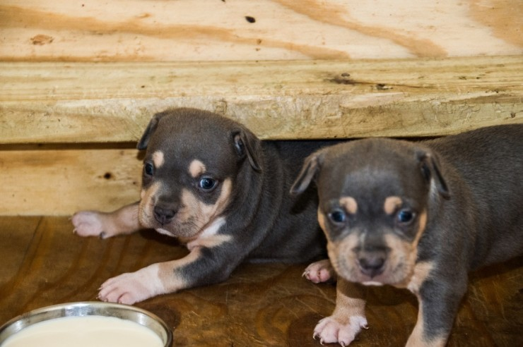 Buy/Adopt Pitbull Puppies on SALE - See Price in India