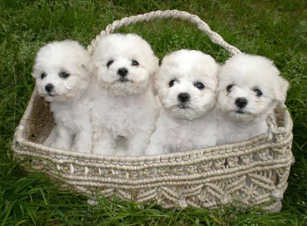 Buy Sell Bichon Frise Puppies Online Adopt A Bichon