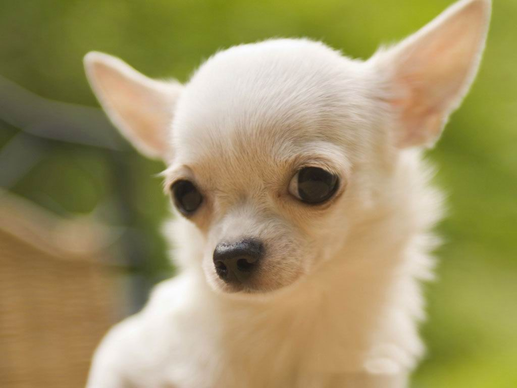 Adopt Chihuahua Dogs In India | Pets World