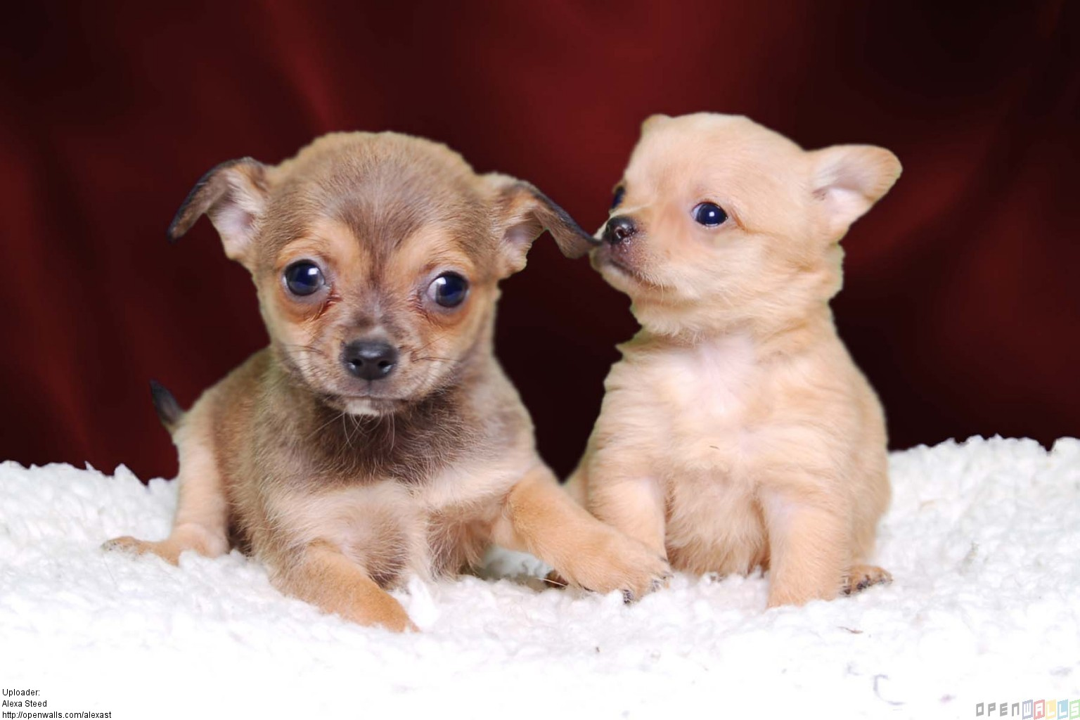 Adopt Chihuahua Dogs In India