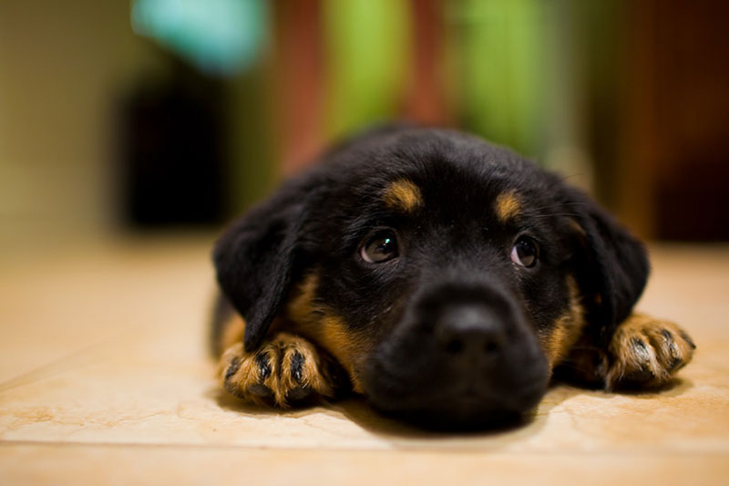 Healthy Rottweiler Diet Option To Gain Weight Pets World