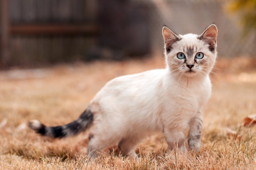 abstract_siamese_cat_high_quality
