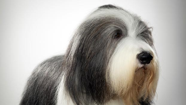 bearded-collie_04_lg
