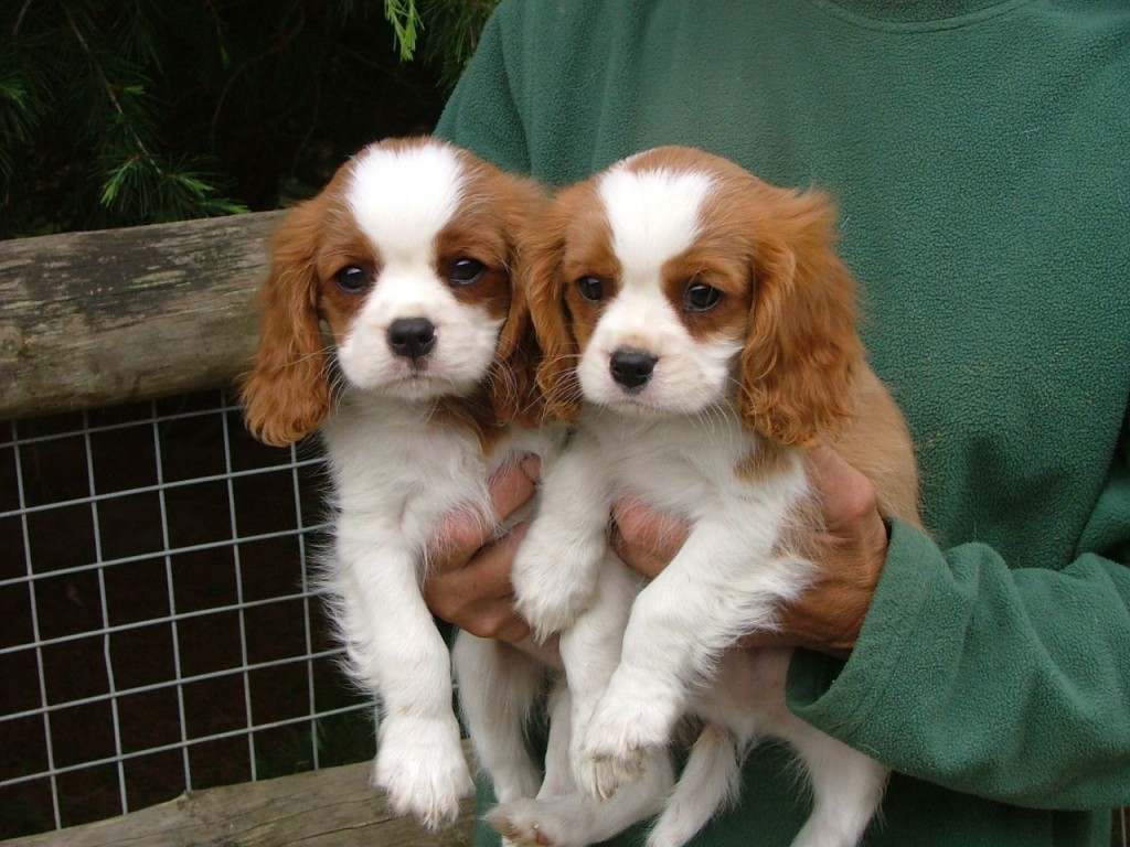 cavalier-king-charles-spaniel-puppies