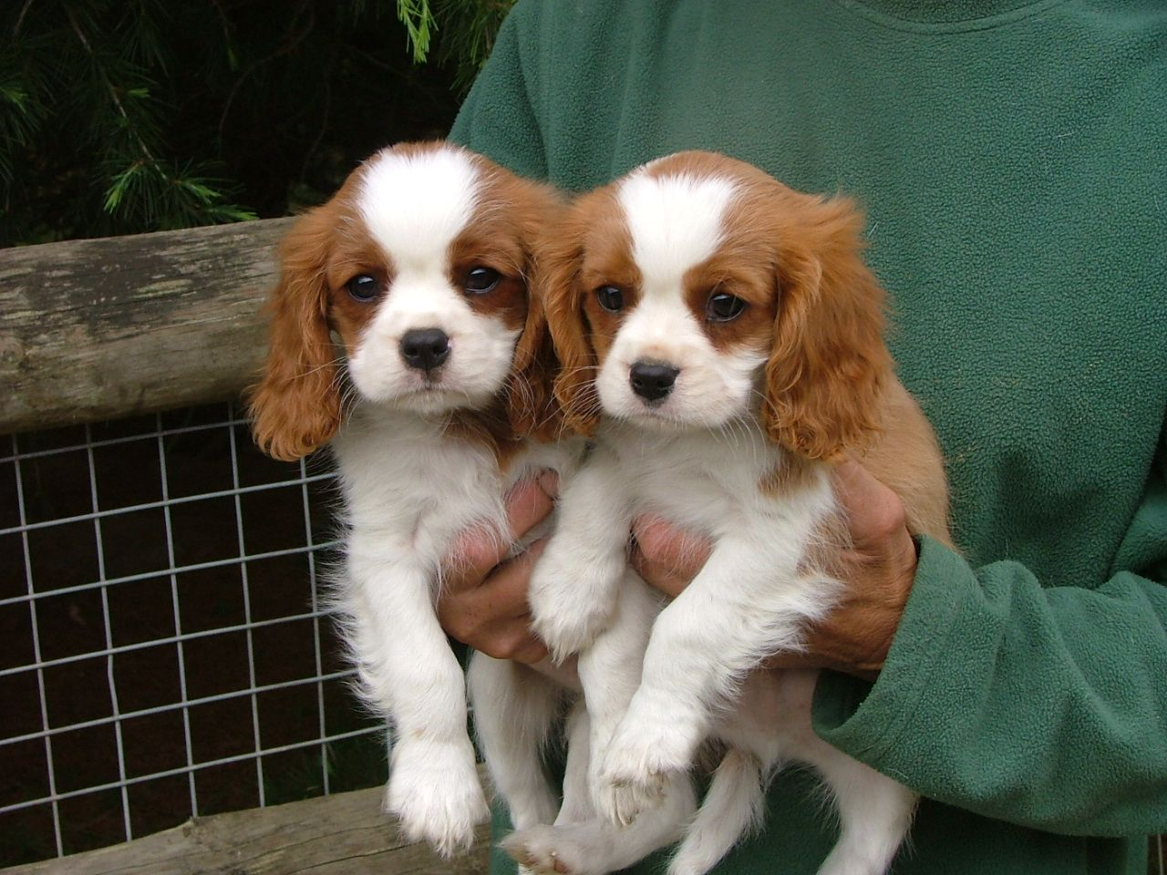 Buy/Sell King Charles spaniel Puppies - Adopt Puppy Online In India