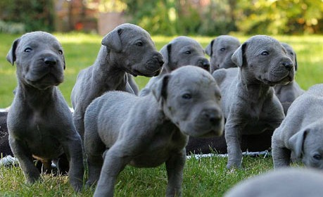 adopt great dane puppies buy sell puppies online in india pets world