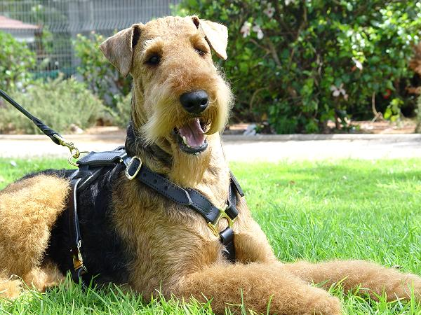dog-harness-walking-airedale-terrier-training_LRG