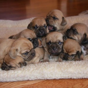 Adopt Puggle Puppies Buysell Puppies Online In India Pets World