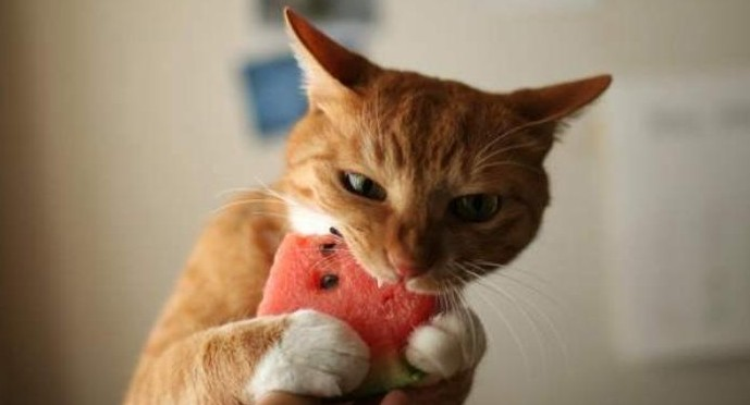 cat eating watermelon