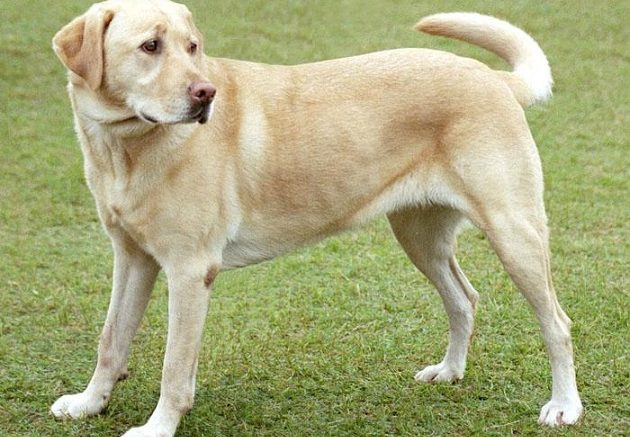 Labrador Image